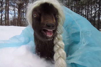 What the bleat!? It's a goat—dressed as Frozen's Elsa