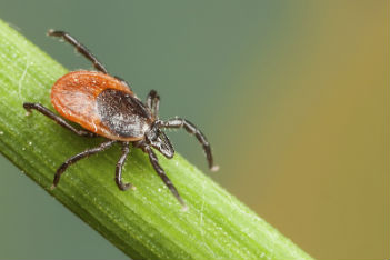 Deer ticks in Canada: Everything you need to know