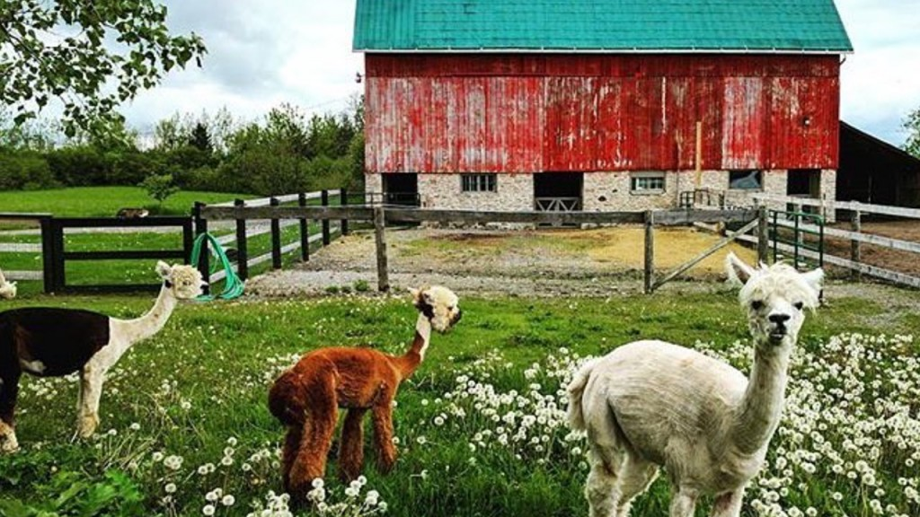 three llamas in front of a red barn in a flower-filled field in Prince Edward Country