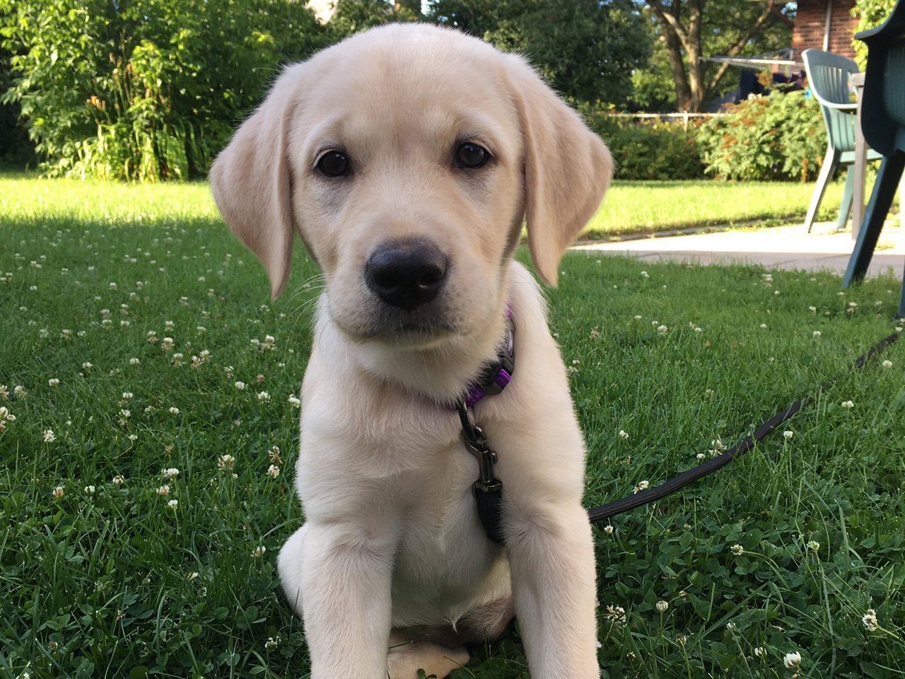 Golden lab puppy sitting on the lawn