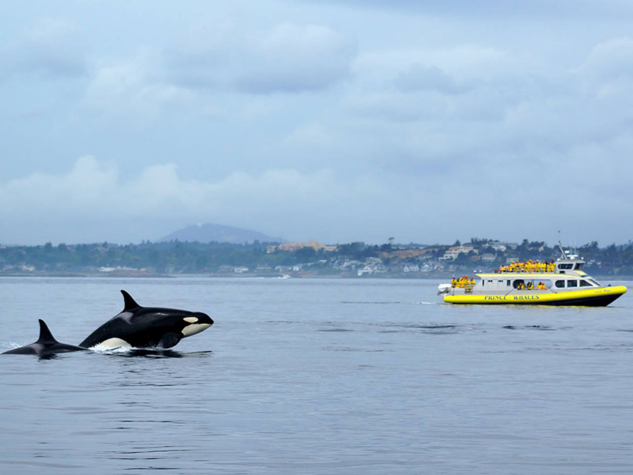 A whale watching boat behind two killer whales jumping in the ocean