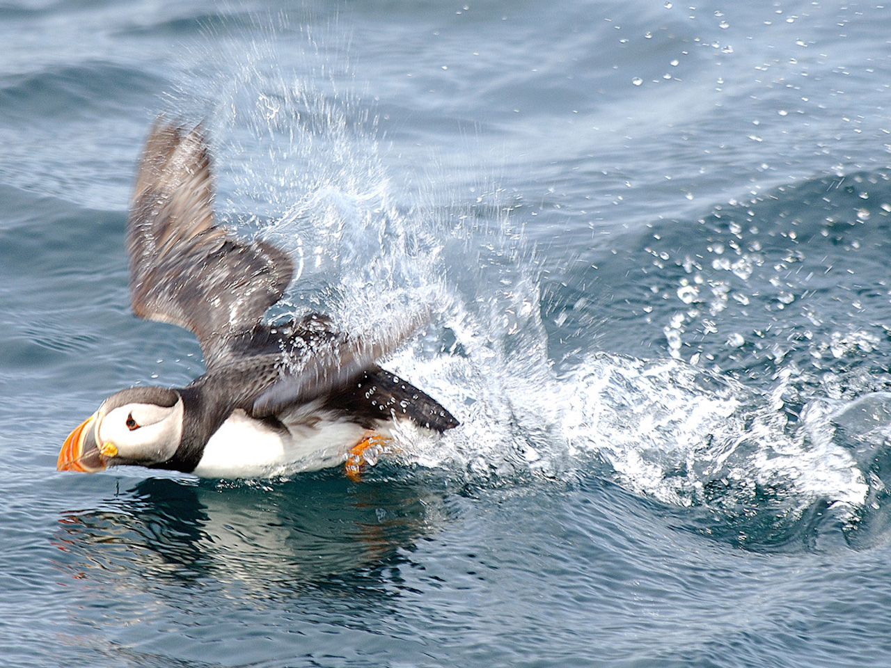 puffin swimming and splashing in the water
