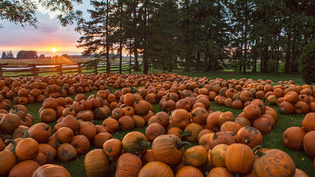 a field of pumpkins next to a stand of trees