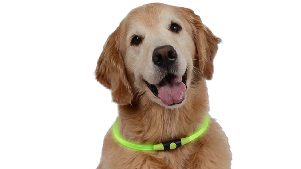 dog wearing safety light up collar